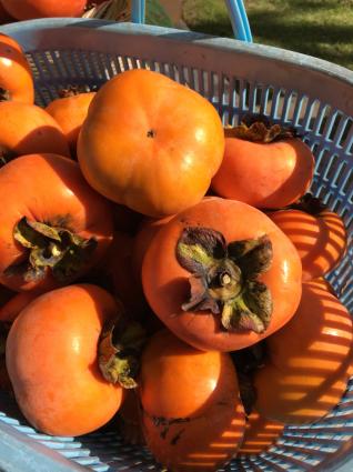 柿豊作の折_a0163160_14402188.jpg