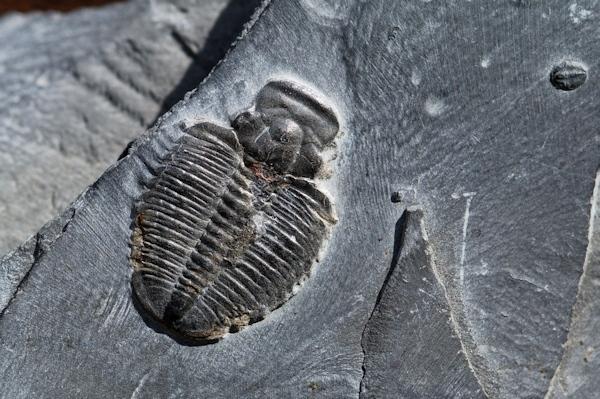 化石 三葉虫_e0200879_13060474.jpg
