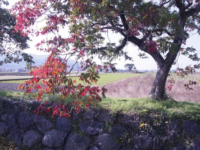 柳坂曽根のハゼ並木_a0149488_8471138.jpg