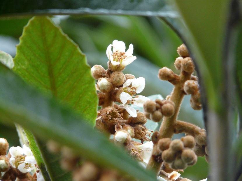 枇杷の花が咲く_e0118827_1311322.jpg
