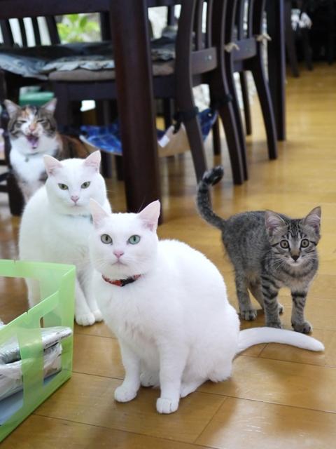 猫のお留守番 ゆきちゃんゆめくんあられくんしぐれくん編。_a0143140_2274691.jpg