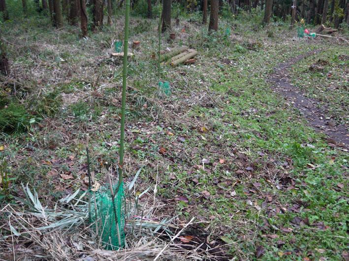 参った!早くも野ウサギがヤマグリの苗木の根元切断_c0014967_18484987.jpg