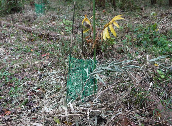参った!早くも野ウサギがヤマグリの苗木の根元切断_c0014967_1852964.jpg