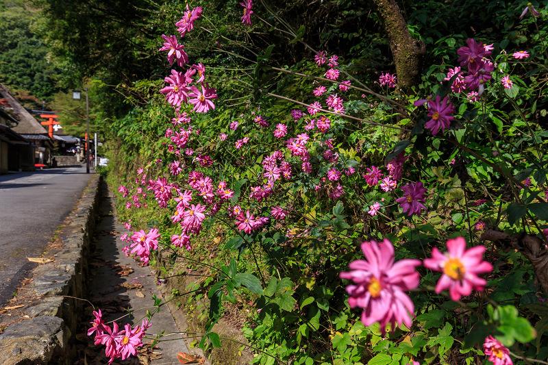 秋の花巡り(鳥居本)_f0155048_22305717.jpg