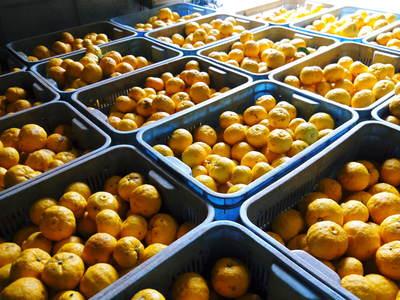 令和元年度の冬至の「柚子風呂」用柚子(ゆず)ご予約承り中!数量限定につき、お急ぎください!_a0254656_17293928.jpg