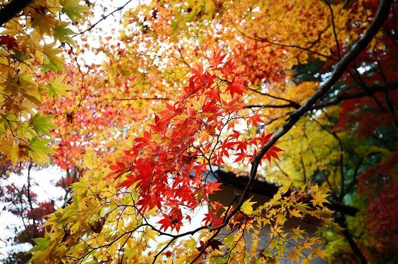2016京都の紅葉@八木 西光寺_f0032011_18134853.jpg