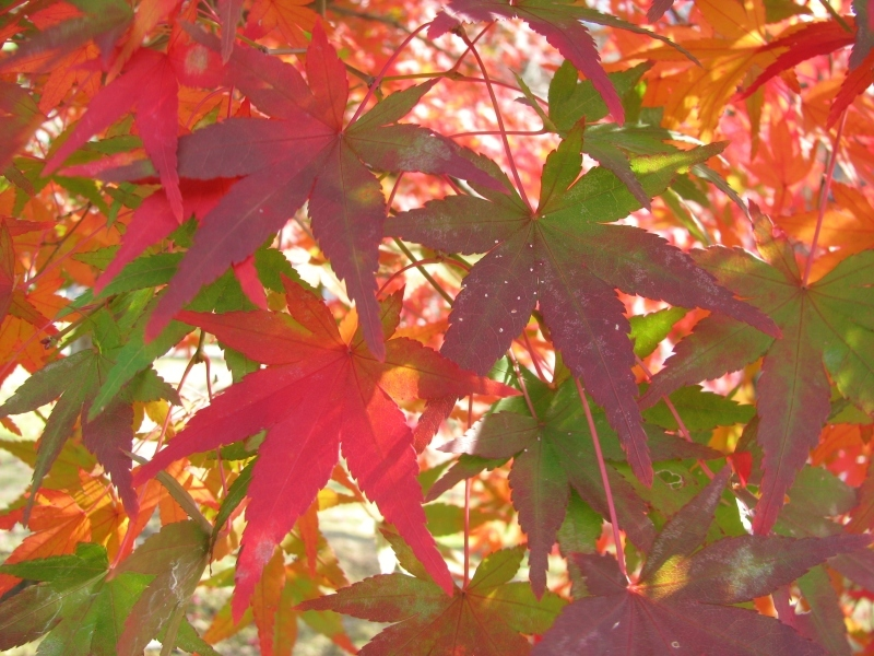 紅葉の庭、紅葉の絵 ― 智積院 * Garden and Painting of Maple Leaves_f0374041_10421780.jpg