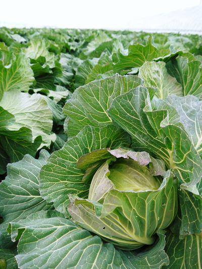 有機栽培キャベツ 定植後の様子とその後の成長_a0254656_1833457.jpg