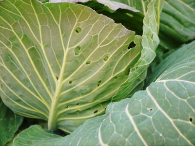 有機栽培キャベツ 定植後の様子とその後の成長_a0254656_1859335.jpg