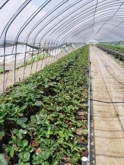 有機栽培キャベツ 定植後の様子とその後の成長_a0254656_19141452.jpg
