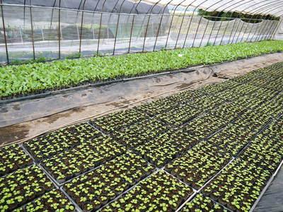 有機栽培キャベツ 定植後の様子とその後の成長_a0254656_19233649.jpg