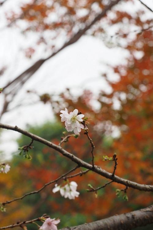 十月桜_a0292060_17193543.jpg
