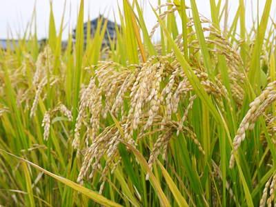無農薬の『雑穀米』、『発芽玄米』 平成28年度の新米の『雑穀米』、『発芽玄米』大好評発売中!_a0254656_1733281.jpg
