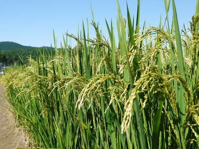 無農薬の『雑穀米』、『発芽玄米』 平成28年度の新米の『雑穀米』、『発芽玄米』大好評発売中!_a0254656_17523318.jpg