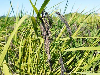 無農薬の『雑穀米』、『発芽玄米』 平成28年度の新米の『雑穀米』、『発芽玄米』大好評発売中!_a0254656_17542890.jpg