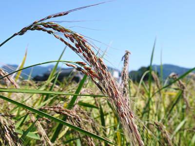 無農薬の『雑穀米』、『発芽玄米』 平成28年度の新米の『雑穀米』、『発芽玄米』大好評発売中!_a0254656_17571473.jpg