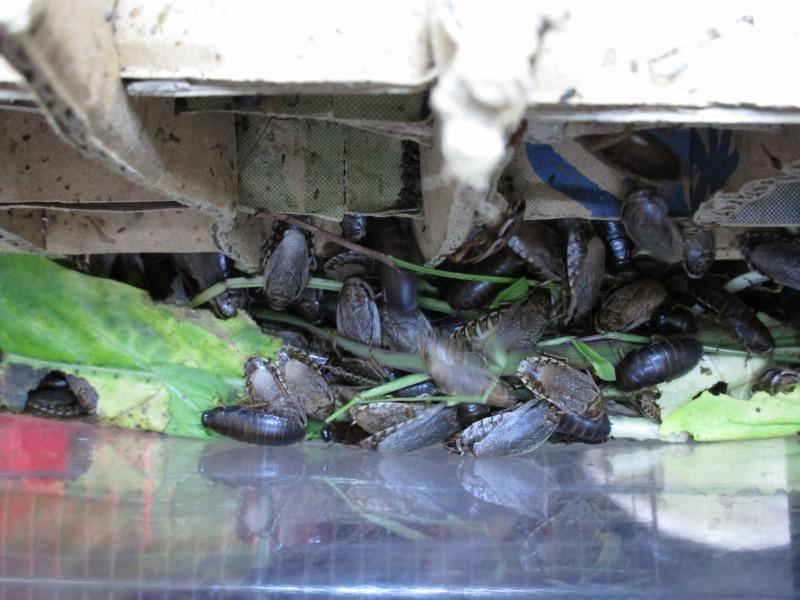 ペット「レッドローチ繁殖」_b0362459_19220102.jpg