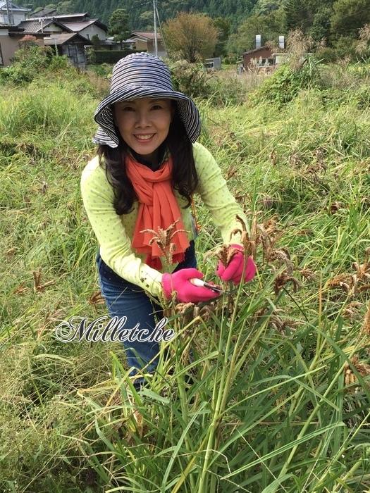 雑穀シコクビエの収穫体験 @長野県伊那市_c0220172_13474471.jpeg