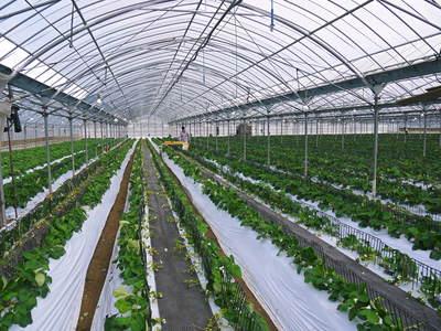 熊本イチゴ『さがほのか』 収穫スタート!本格的な収穫及び販売は12月中旬(予定)より!_a0254656_17243379.jpg