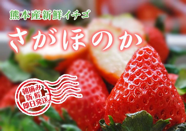 熊本イチゴ『さがほのか』 収穫スタート!本格的な収穫及び販売は12月中旬(予定)より!_a0254656_1727934.jpg