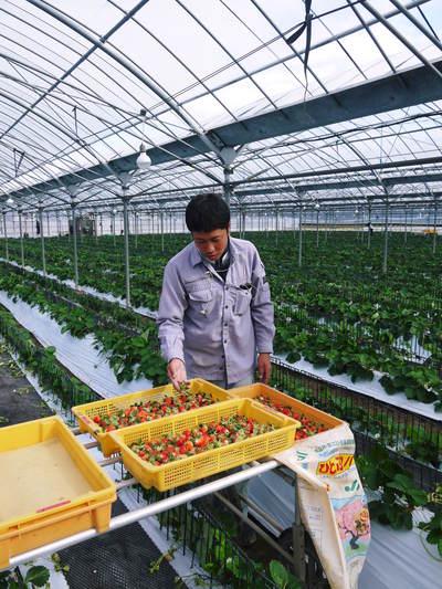 熊本イチゴ『さがほのか』 収穫スタート!本格的な収穫及び販売は12月中旬(予定)より!_a0254656_17343773.jpg