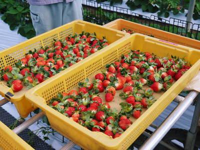 熊本イチゴ『さがほのか』 収穫スタート!本格的な収穫及び販売は12月中旬(予定)より!_a0254656_17384647.jpg