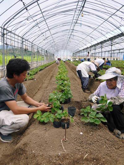 熊本イチゴ『さがほのか』 収穫スタート!本格的な収穫及び販売は12月中旬(予定)より!_a0254656_1747492.jpg
