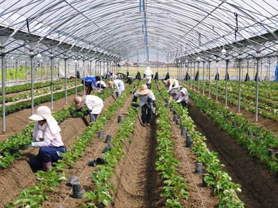熊本イチゴ『さがほのか』 収穫スタート!本格的な収穫及び販売は12月中旬(予定)より!_a0254656_1750598.jpg