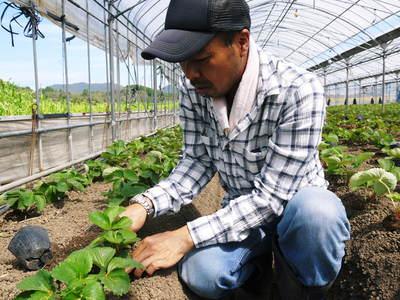 熊本イチゴ『さがほのか』 収穫スタート!本格的な収穫及び販売は12月中旬(予定)より!_a0254656_17523491.jpg