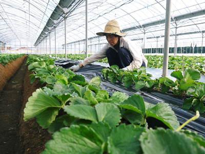 熊本イチゴ『さがほのか』 収穫スタート!本格的な収穫及び販売は12月中旬(予定)より!_a0254656_17573693.jpg