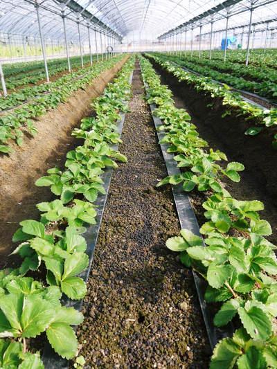 熊本イチゴ『さがほのか』 収穫スタート!本格的な収穫及び販売は12月中旬(予定)より!_a0254656_1804631.jpg
