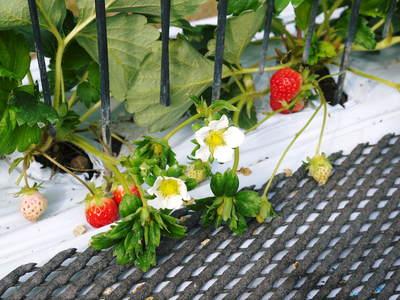 熊本イチゴ『さがほのか』 収穫スタート!本格的な収穫及び販売は12月中旬(予定)より!_a0254656_18232148.jpg