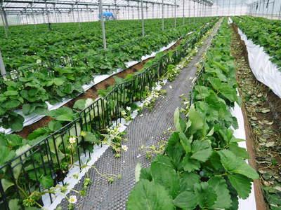 熊本イチゴ『さがほのか』 収穫スタート!本格的な収穫及び販売は12月中旬(予定)より!_a0254656_18272538.jpg