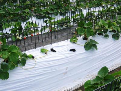 熊本イチゴ『さがほのか』 収穫スタート!本格的な収穫及び販売は12月中旬(予定)より!_a0254656_18305874.jpg