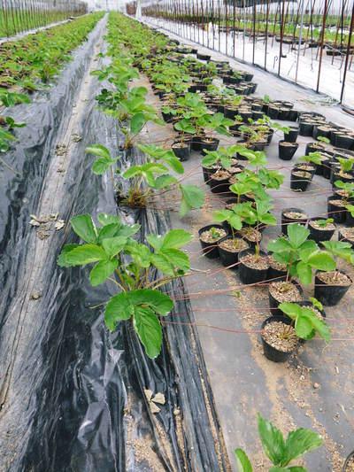 熊本イチゴ『さがほのか』 収穫スタート!本格的な収穫及び販売は12月中旬(予定)より!_a0254656_18361475.jpg