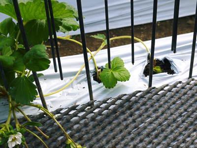 熊本イチゴ『さがほのか』 収穫スタート!本格的な収穫及び販売は12月中旬(予定)より!_a0254656_18401588.jpg