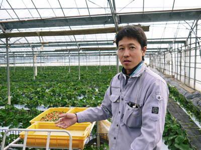 熊本イチゴ『さがほのか』 収穫スタート!本格的な収穫及び販売は12月中旬(予定)より!_a0254656_1843927.jpg