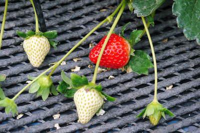 熊本イチゴ『さがほのか』 収穫スタート!本格的な収穫及び販売は12月中旬(予定)より!_a0254656_1849518.jpg