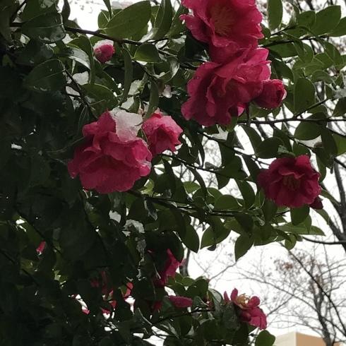 初雪と紅葉_d0122797_06124174.jpg