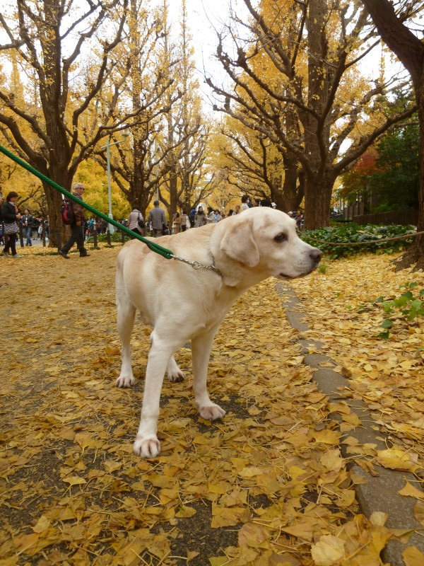 late autumn   神宮外苑  イチョウ並木とフォカッチャランチ_a0165160_17343642.jpg