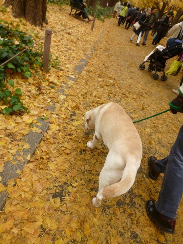 late autumn   神宮外苑  イチョウ並木とフォカッチャランチ_a0165160_18291738.jpg