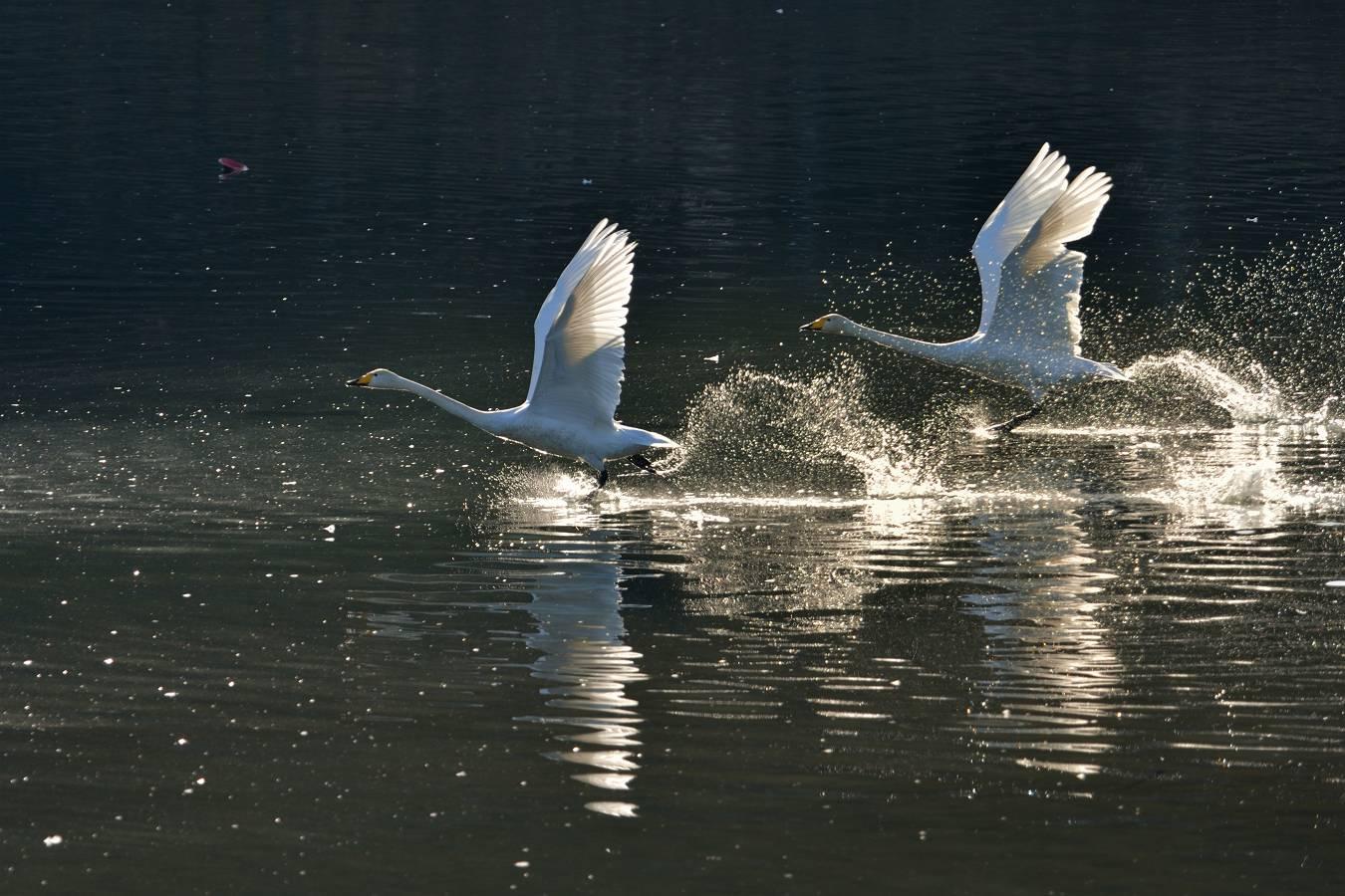 白石川の白鳥_b0223668_1117522.jpg