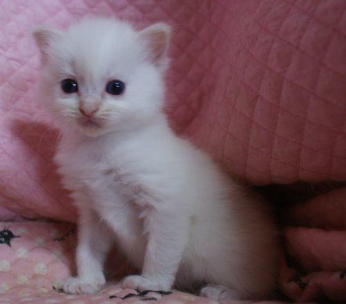 ラグドール子猫家族募集 10月30日生まれクリームポイントバイカラー坊や_e0033609_09533295.jpg