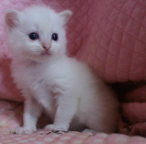 ラグドール子猫家族募集 10月30日生まれクリームポイントバイカラー坊や_e0033609_09534843.jpg