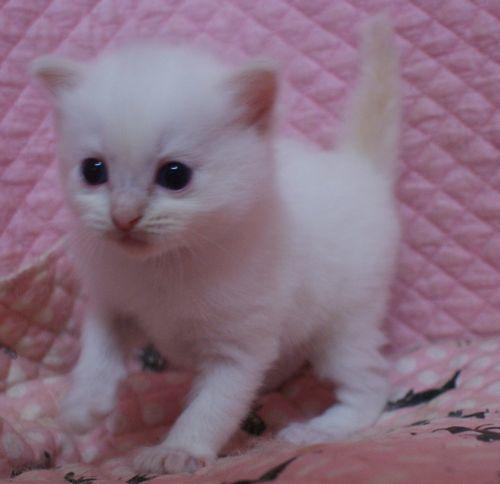 ラグドール子猫家族募集 10月30日生まれクリームポイントバイカラー坊や_e0033609_09540158.jpg
