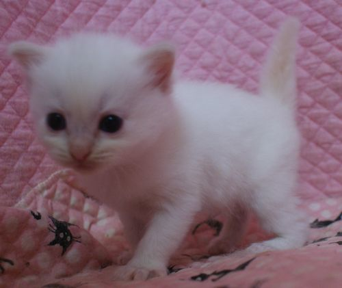 ラグドール子猫家族募集 10月30日生まれクリームポイントバイカラー坊や_e0033609_09541751.jpg