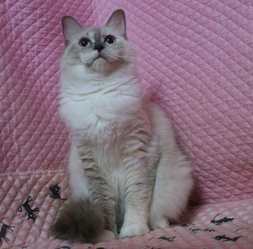 ラグドール子猫家族募集 10月30日生まれクリームポイントバイカラー坊や_e0033609_16543678.jpg