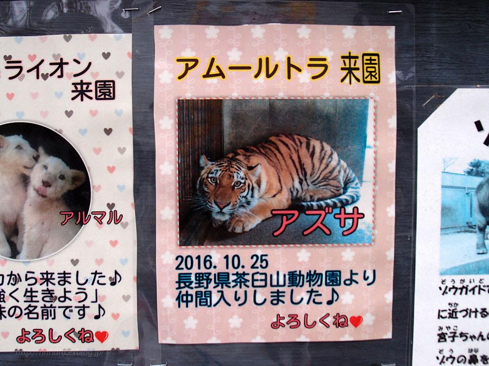 2016.11.27 宇都宮動物園☆アムールトラのアズサ姫歓迎の儀【Tiger】_f0250322_20103574.jpg