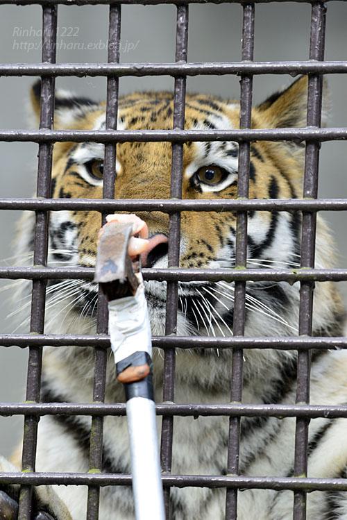 2016.11.27 宇都宮動物園☆アムールトラのアズサ姫歓迎の儀【Tiger】_f0250322_2092085.jpg