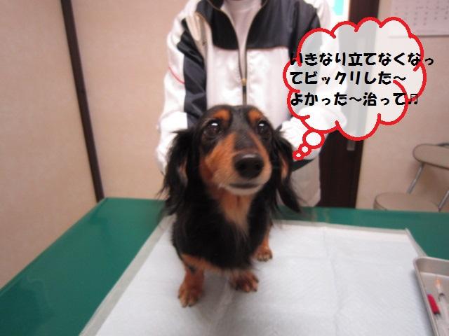 【急にキャンっと鳴いて後肢が立てなくなった犬】_b0059154_1452574.jpg